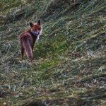 Jagdausstellung Freistadt Fuchs